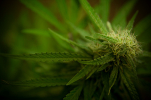 Concimi e fertillizzanti marijuana