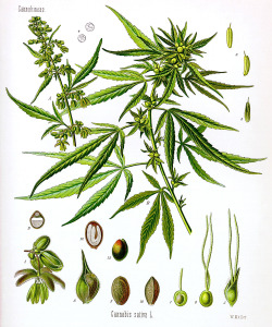 Cannabis_sativa_Koehler_drawing-2