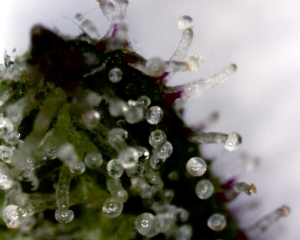 Trichomes_on_a_Cannabis_Sativa_Flower