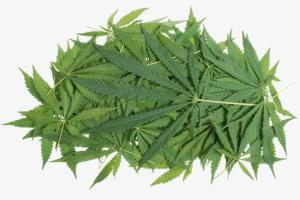 Guida raccolta della marijuana
