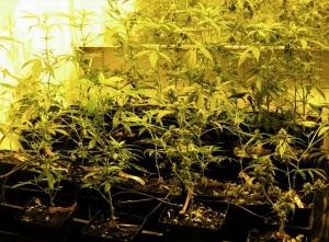 esempio problemi comuni crescita cannabis