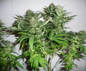 Cannabis_sativa_fioritura