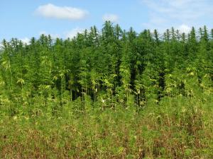 Efetti Cannabis Sativa e Indica
