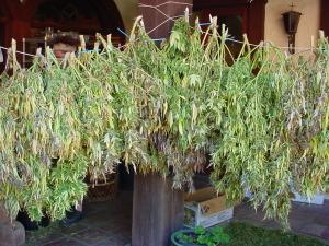 Essiccazione o asciugatura marijuana