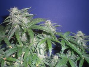 Marijuana annaffiare