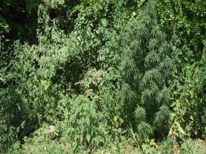 Marijuana vegetativa