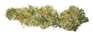 Marijuana_coltivazione_fuori casa